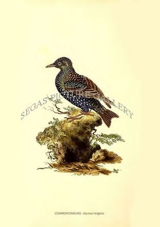 COMMON STARLING - Sturnus Vulgaris